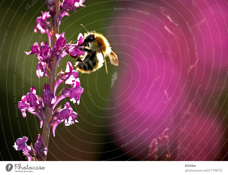 Nature Green Red Summer Nutrition Animal Meadow Garden Park Landscape Pink Violet Bee Organic produce Honey Diligent