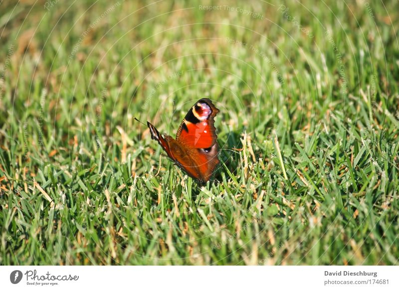 Funny lawn mower Colour photo Exterior shot Day Contrast Nature Spring Summer Plant Grass Meadow Animal Wild animal Butterfly Wing 1 Green Red Peacock butterfly