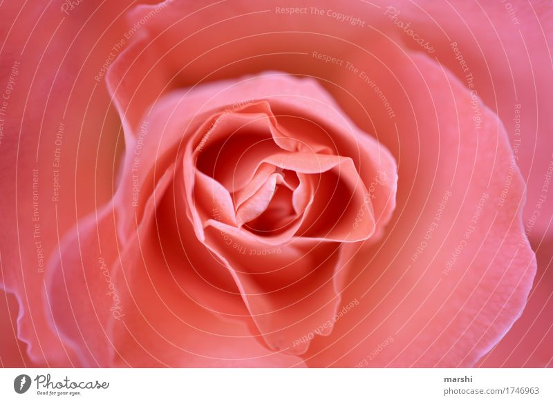 rose Rose Flower Blossom Blossom leave Delicate Pink Soft Garden Blur Plant Perspective Fragrance Beautiful Gift Love Valentine's Day Mother's Day Birthday