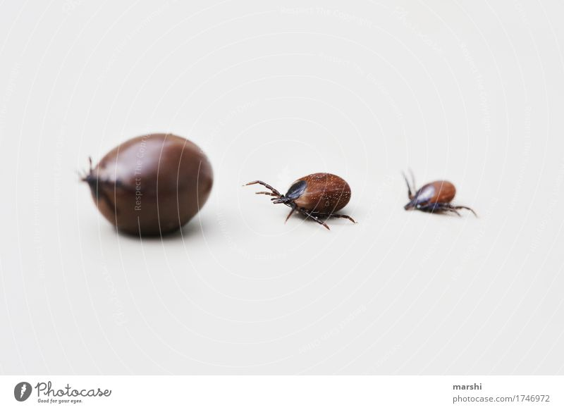 tick parade Tick Animal Disgust Isolated Image Brown Fat grease-sucked Suck peril Dangerous Inflated Small Garden Summer Illness Sickly Macro (Extreme close-up)