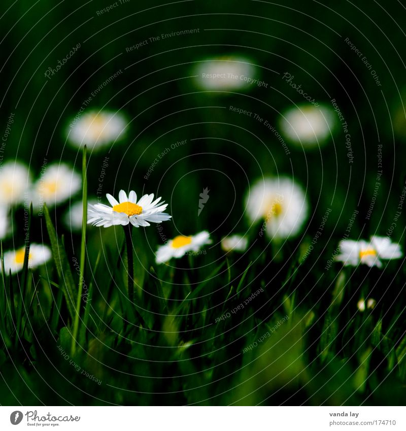 daisy Colour photo Multicoloured Exterior shot Deserted Copy Space top Blur Shallow depth of field Environment Nature Plant Flower Wild plant Innocent Meadow