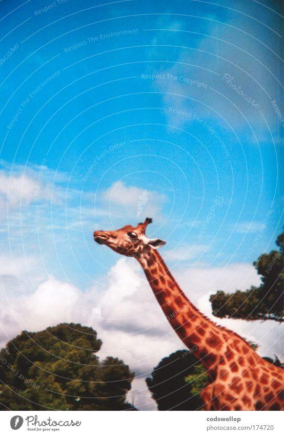 airborne reconnaissance radar Colour photo Exterior shot Holga Copy Space top Sunlight Profile Forward Nature Animal Wild animal Giraffe 1 Observe Large
