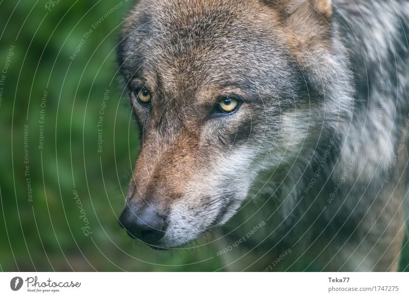 Wolf II Style Nature Animal Wild animal Animal face Zoo Adventure Aggression Contentment Colour photo Exterior shot