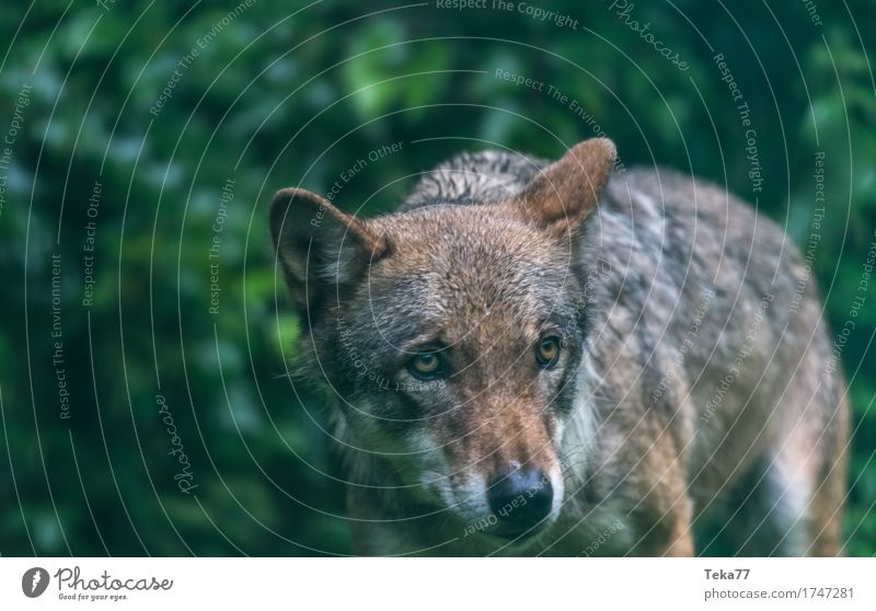 Wolf #2 Style Environment Nature Landscape Plant Animal Wild animal Animal face Zoo 1 Emotions Power Colour photo Exterior shot Deserted Twilight