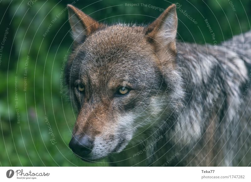 Wolf #1 Style Environment Nature Landscape Plant Animal Wild animal Animal face Zoo Emotions Power Colour photo Exterior shot Deserted Animal portrait