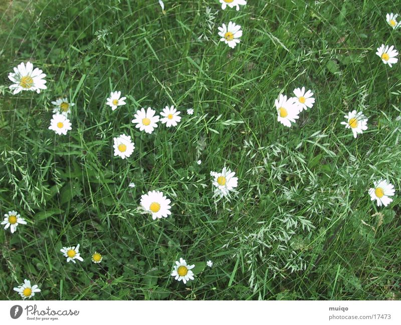 Flower Meadow Grass