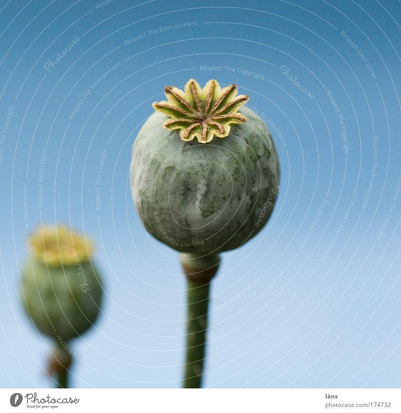 Nature Blue Plant Summer Stalk Poppy Faded Sky blue Wild plant Poppy capsule