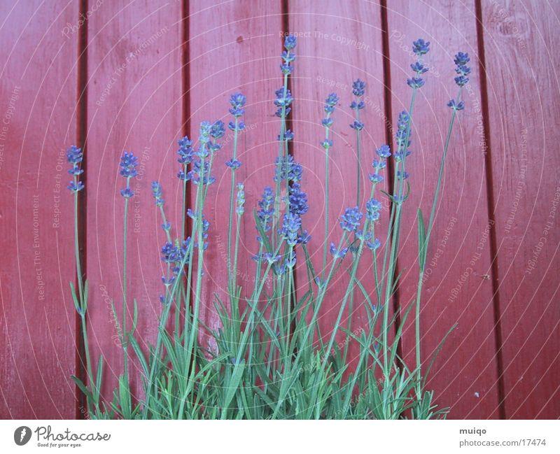Purple flowers Lavender Red Wood chestnut red Medicinal plant