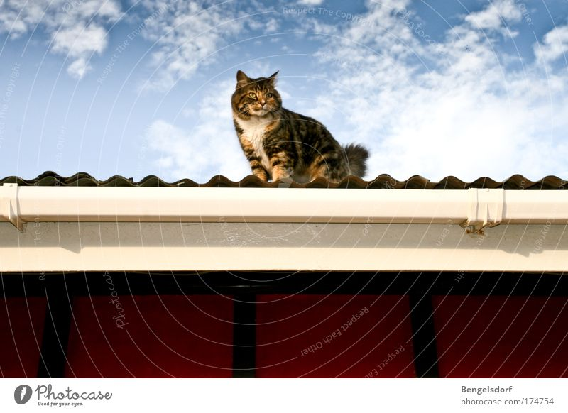 Cat on the hot tin roof Air Sky Clouds Corrugated-iron hut Roof Eaves Corrugated sheet iron Animal Pet Animal face Pelt 1 Observe Looking Colour photo