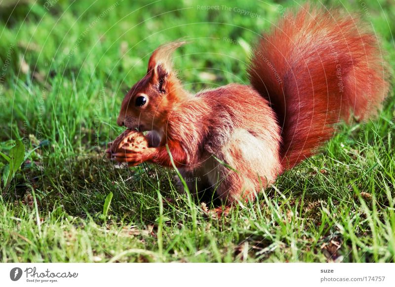 finger food Nut Walnut Environment Nature Plant Animal Grass Meadow Pelt Wild animal Squirrel 1 To feed Feeding Cute Beautiful Green Red Love of animals Rodent