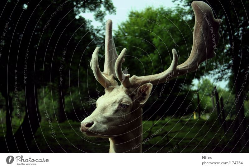 Stag in white Colour photo Exterior shot Copy Space left Copy Space right Day Shadow Central perspective Looking away Environment Nature Animal Zoo 1 To enjoy