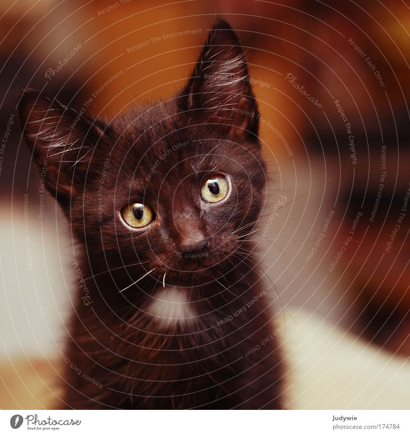1x black tomcat ... Colour photo Interior shot Deserted Copy Space right Copy Space bottom Shallow depth of field Animal portrait Looking into the camera