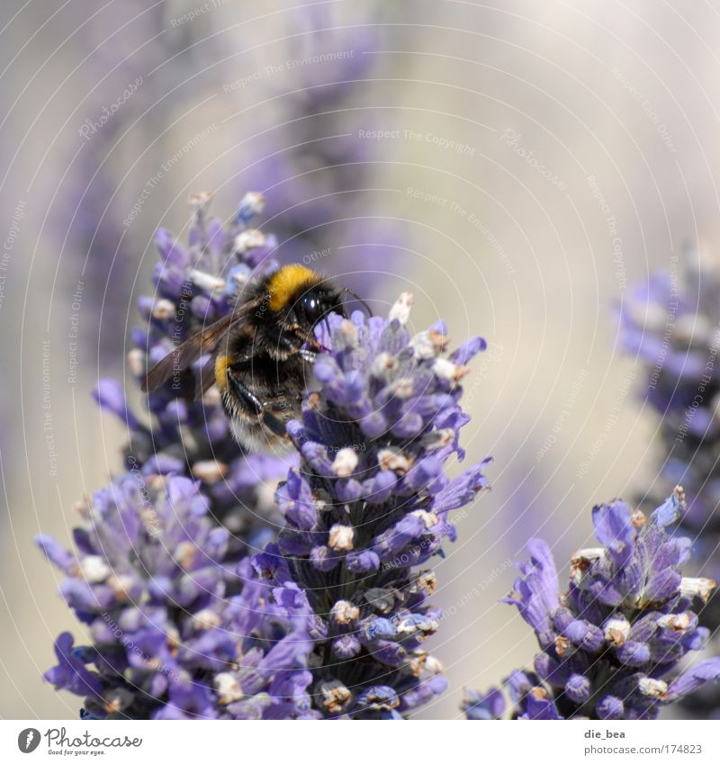 Bumblebee Bumblebee Colour photo Exterior shot Day Animal portrait Nature Plant Summer Bumble bee 1 Flying To feed Faded Violet Lavender