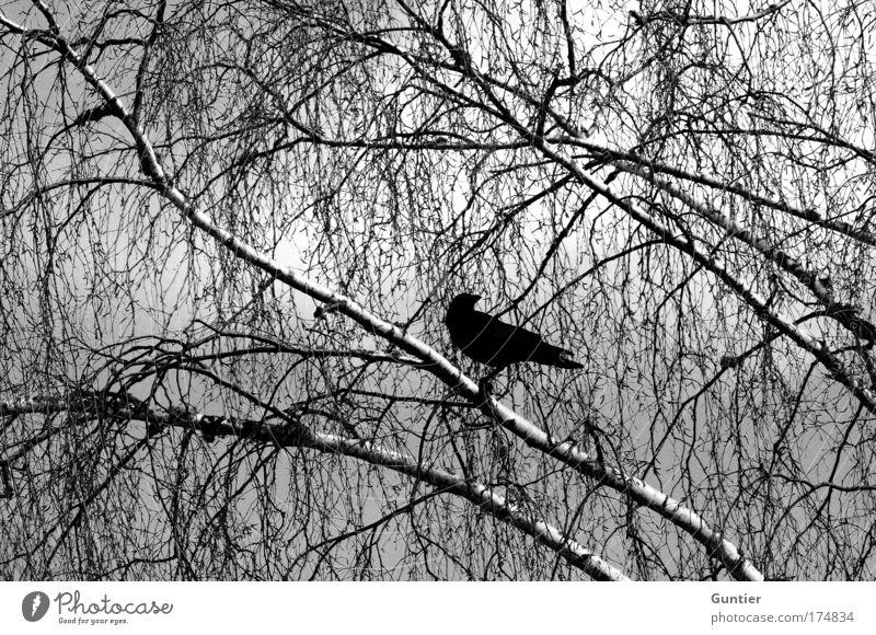 Nature Sky White Tree Plant Black Animal Dark Cold Moody Bird Wait Sit Wing Observe Branch