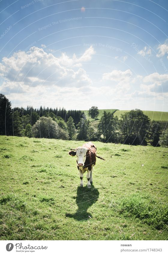 moo Agriculture Forestry Landscape Sky Summer Grass Meadow Animal Cow Stand Warmth Milk Milk production Argument Looking Mountain Juicy Green Healthy Ecological