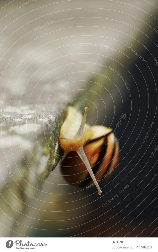 On the precipice. Climbing Mountaineering Lichen Terrace Garden Garden table Table edge Animal Snail Brown-lipped snail garden slug Goggle eyed Mollusk