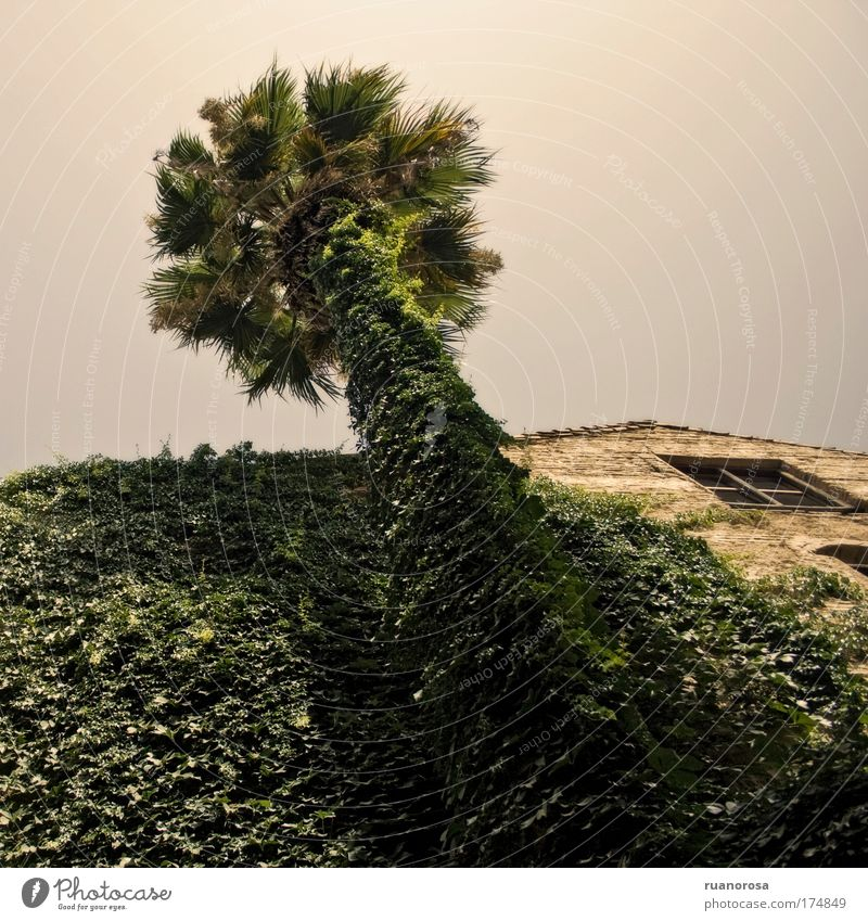 Colour photo Exterior shot Deserted Day Worm's-eye view Sky Cloudless sky Plant Tree Foliage plant Garden Old Palm tree Ivy House (Residential Structure) Window