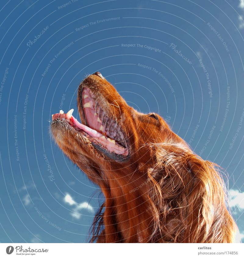 I'm wearing fur. Dog Irish setter Pelt Teeth Set of teeth Snout Tongue Breathe Auburn Long-haired look up Upward Obedient observantly Admiration warm Hot