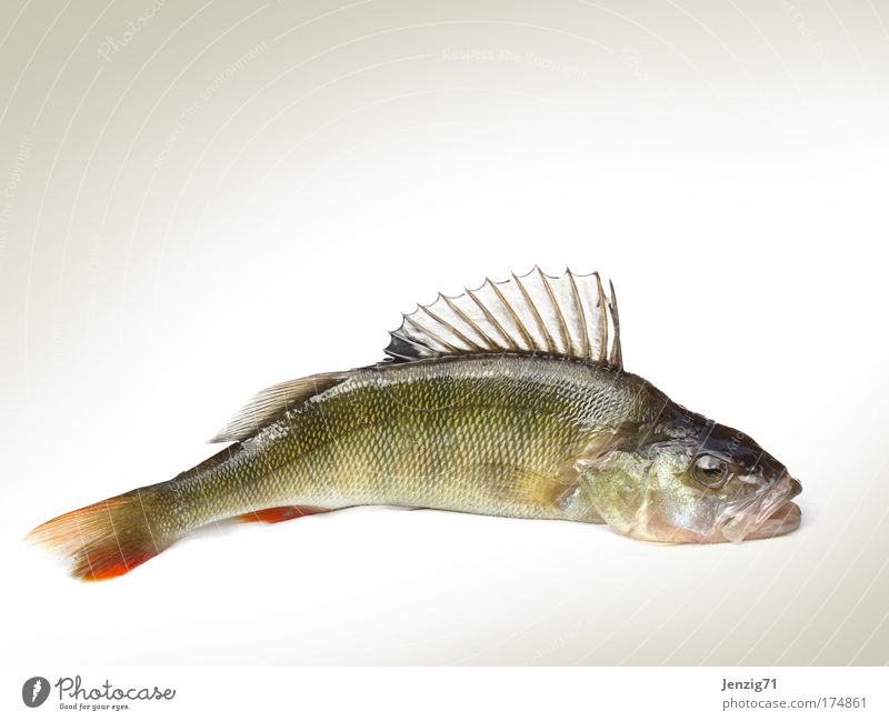 Animal Death Isolated Image Food Fish Fishing (Angle) Fisherman Angler Fin Scales Perches Ocean perch Dead animal