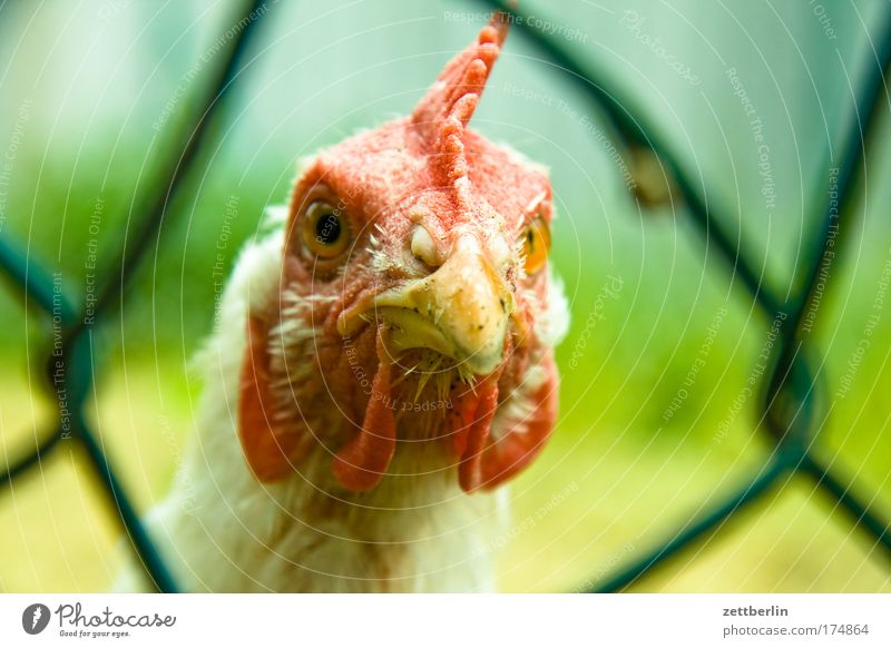 Vacation & Travel Animal Eyes Trip Perspective Agriculture Farm Fence Opinion Barn fowl Motionless Gamefowl Bird Wire netting fence Poultry farm
