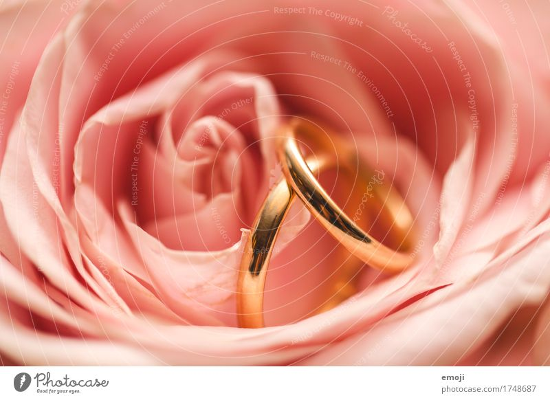 without beginning and without end Flower Rose Accessory Jewellery Ring Wedding band Cliche Pink Romance Matrimony Colour photo Exterior shot