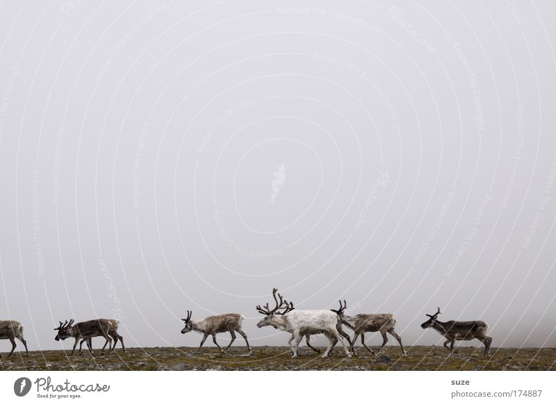 Reindeer in fog Environment Nature Landscape Plant Animal Fog Fjeld Wild animal Group of animals Herd Walking Hiking Brown Gray Finland Norway Lapland Seed