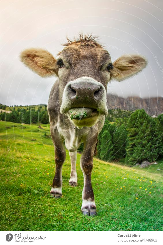 Moo cow Nature Landscape Clouds Summer Fog Meadow Field Forest Hill Rock Alps Mountain Animal Farm animal Cow 1 Stand South Tyrol Alpine pasture Mountain meadow