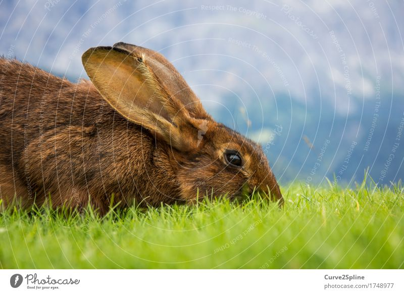 hazel Nature Meadow Hill Alps Animal Pet Wild animal Hare & Rabbit & Bunny 1 Eating Lie Looking Brown Ear Pelt Green Cute Hare ears To feed Soft South Tyrol