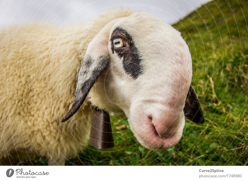 Määh her sheep ... Nature Animal Farm animal 1 Looking Stand Sheep Alpine pasture South Tyrol White Black Speckled Bell Funny Snout Meadow Grass Mountain