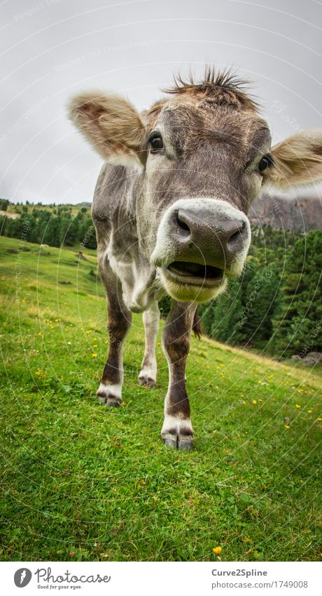 Moo cow Nature Clouds Fog Forest Animal Farm animal Cow Stand Alpine pasture Ruminant Green Mountain meadow South Tyrol Milk Snout Gray Colour photo