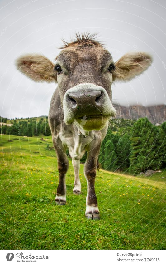 Moo cow Nature Clouds Summer Fog Meadow Field Forest Hill Rock Alps Mountain Animal Farm animal Cow 1 Stand South Tyrol Snout Gray Green Pelt Colour photo