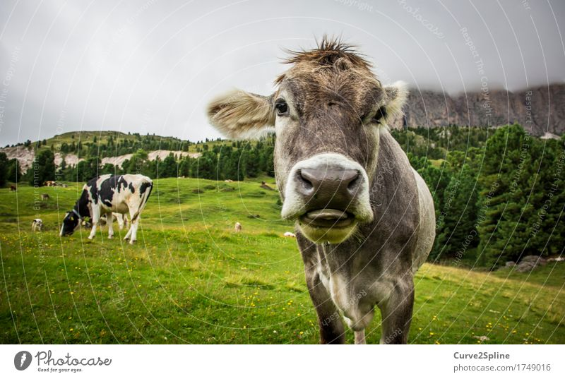 Moo cow Nature Clouds Fog Meadow Field Forest Hill Rock Mountain Animal Farm animal Cow 2 Looking Stand Tongue Snout Gray Green Grass South Tyrol Cute Lick Pelt