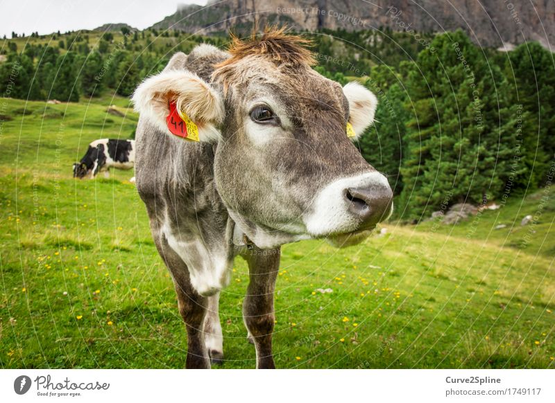 Moo cow Nature Summer Meadow Field Forest Hill Rock Mountain Animal Farm animal Cow 2 To feed Looking Stand South Tyrol Alpine pasture Mountain meadow