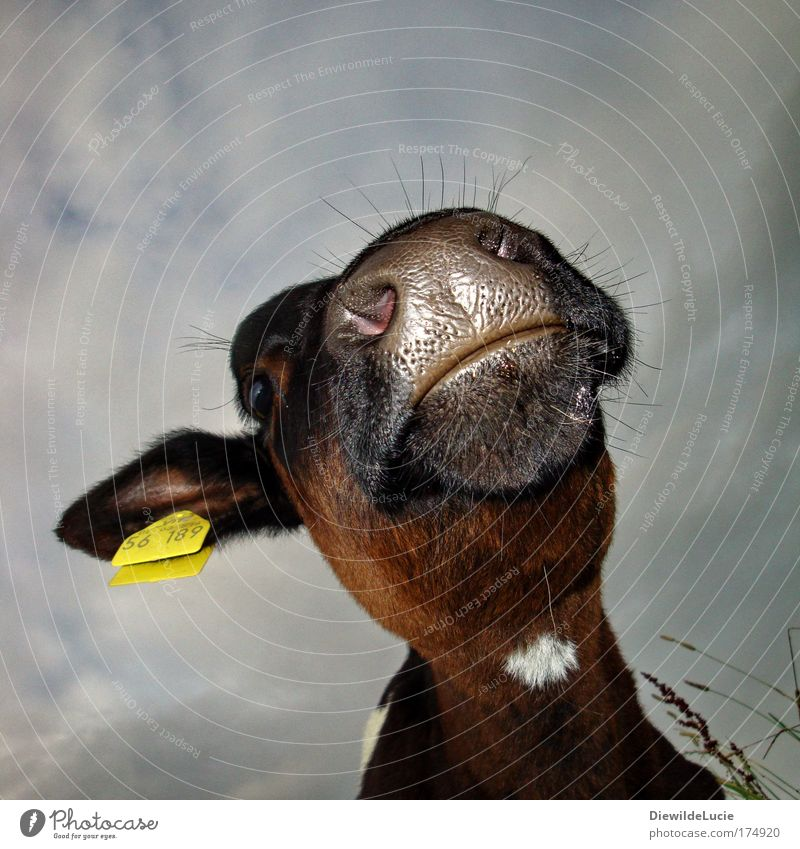 Black Mouth Nose Cattle Pelt Agriculture Cow Worm's-eye view Animal Snout Muzzle Calf Farm animal Nostril Hair and hairstyles Livestock breeding