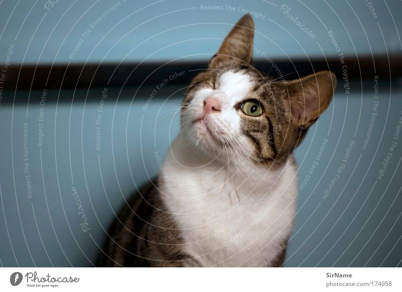 Cat Blue White Animal Calm Wall (building) Funny Wall (barrier) Brown Elegant Communicate Esthetic Observe Curiosity Pelt Pure
