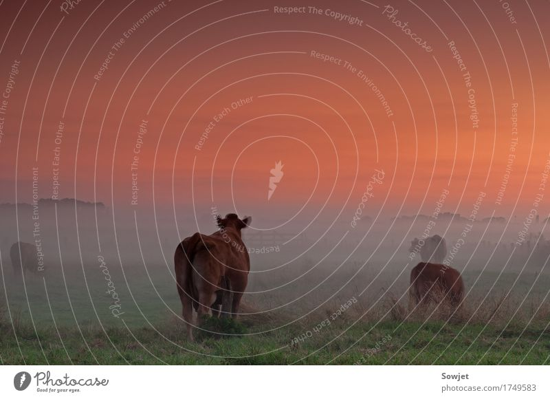 On the pasture Nature Landscape Sunrise Sunset Summer Fog Field Willow tree Animal Farm animal Cow Group of animals Esthetic Calm Inspiration Moody Colour photo