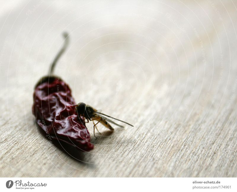sting meets chili Colour photo Interior shot Close-up Detail Macro (Extreme close-up) Copy Space right Food Herbs and spices Chili Animal Wing Wasps Bee