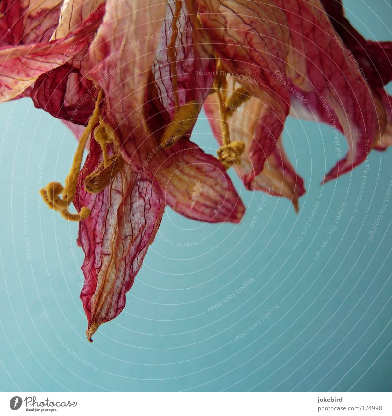 dried beauty Flower Blossom Pollen Stamen Pistil Amaryllis Faded To dry up Growth Fragrance Beautiful Dry Blue Yellow Pink Transience Shriveled Dried