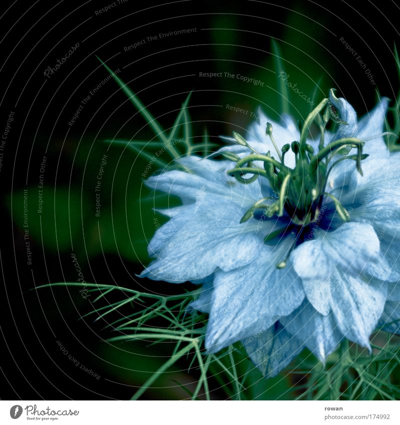 blue Colour photo Exterior shot Day Environment Nature Plant Flower Blossom Wild plant Exotic Exceptional Beautiful Point Thorny Blue Romance Delicate