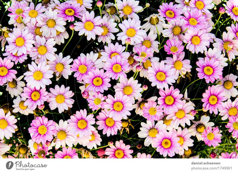 a lot of pink Plant Flower Blossom Happiness Fresh Pink Fragrance Colour Multicoloured