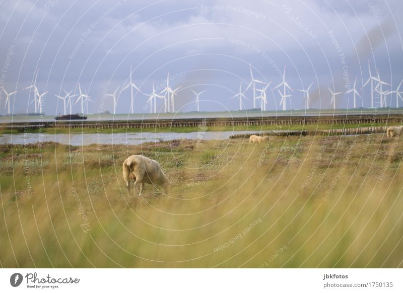 Sheep from behind in front of mudflats and windmills Food Nutrition Environment Nature Landscape Plant Animal Farm animal 3 Herd Cold Wind energy plant