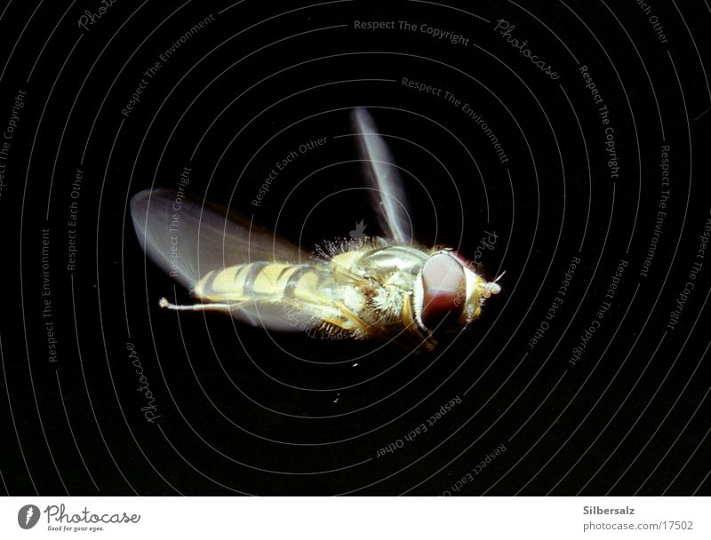 Hoverfly in flight Hover fly Insect Floating Macro (Extreme close-up) Flying insect Aviation aerial photograph