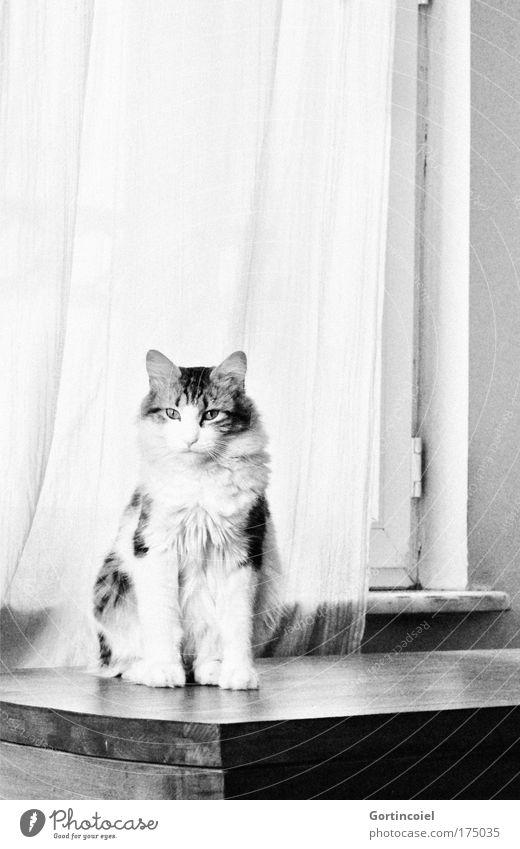 Beautiful Calm Animal Window Cat Power Elegant Sit Table Esthetic Animal face Pelt Drape Paw Pet Long-haired
