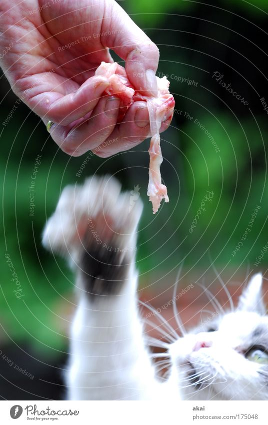 Human being Hand Nutrition Animal Movement Cat Catch Delicious Hunting Appetite To enjoy Ring Meat To feed Pet Anticipation