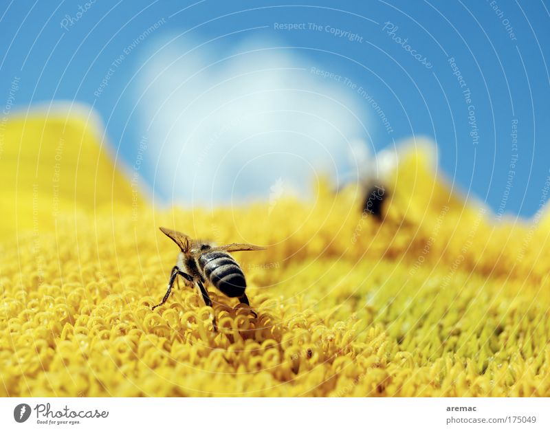Nature Sky Flower Blue Plant Clouds Nutrition Animal Yellow Macro (Extreme close-up) Bee Sunflower Diligent