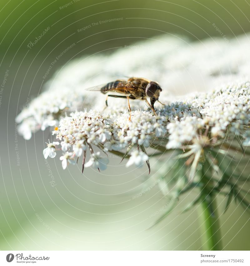 landing platform Nature Plant Animal Summer Flower Bushes Meadow Insect 1 Sit Small Hover fly Colour photo Exterior shot Macro (Extreme close-up) Deserted Day