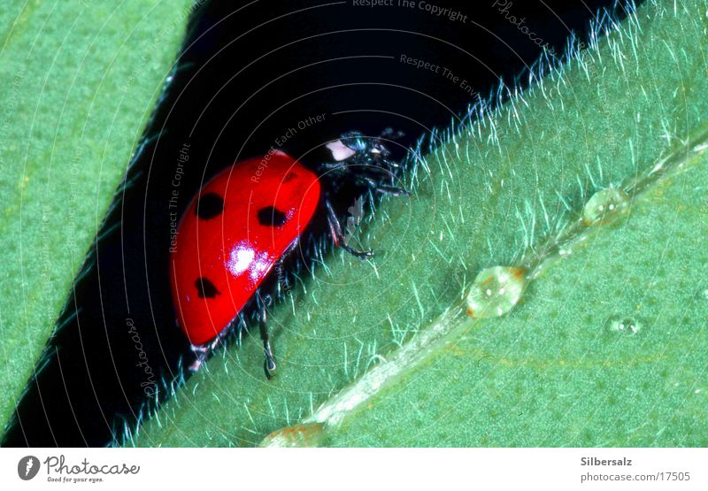 Insect Ladybird