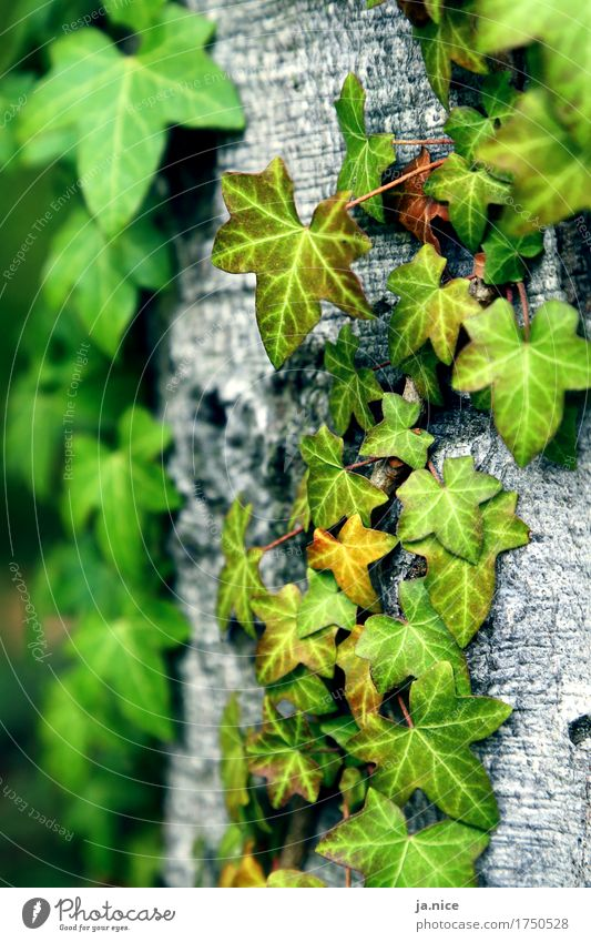 Ivy. Nature Plant Tree Leaf Foliage plant Forest To hold on Natural Gray Green Environment Colour photo Exterior shot Deserted Day Shallow depth of field