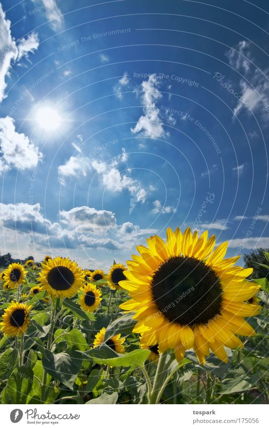 sunflowers Colour photo Multicoloured Exterior shot Deserted Copy Space top Day Sunlight Sunbeam Back-light Central perspective Wide angle Harmonious Summer