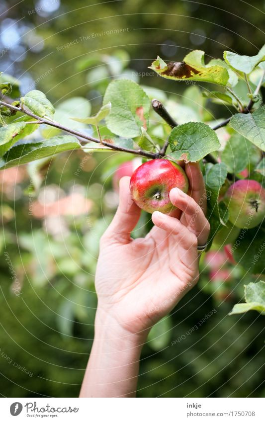 apple harvest Apple Nutrition Organic produce Hand 1 Human being Summer Autumn Beautiful weather Agricultural crop Apple tree Fresh Healthy Natural Juicy Green